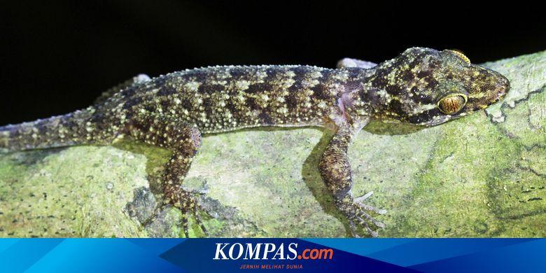 Seri Hewan Nusantara: Spesies Baru Tokek Ditemukan