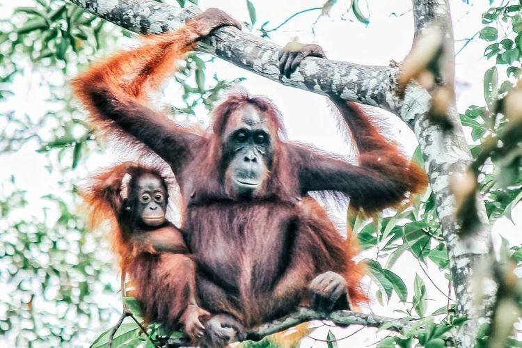 Terdapat cukup banyak populasi orangutan di sejumlah wilayah konservasi dan koridor satwa milik ANJ. Salah satunya adalah koridor satwa di Kabupaten Ketapang, Kalimantan Barat (Kalbar). Koridor satwa ini menghubngkan Hutan Desa Manjau dan Hutan Tanjung Sekuting (area konservasi ANJ).