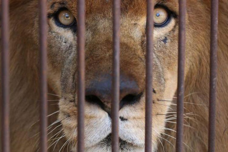 Salah satu singa sirkus di Lima, Peru yang siap dikirim ke Afrika Selatan.