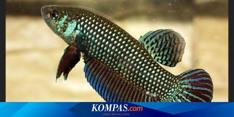 Ikan Cupang Si Cantik Yang Gemar Bertarung Hingga Basmi Jentik Halaman All Kompas Com
