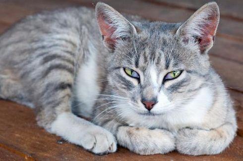 Saat Obat Kucing Menunjukkan Harapan untuk Covid-19...