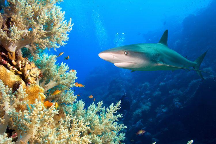 Ilustrasi hiu karang yang memiliki peran penting dalam menjaga ekosistem terumbu karang. Survei baru-baru ini ungkap hiu karang punah secara fungsional di sejumlah lautan di Bumi.