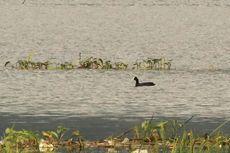 Pertama Kali, Burung Mandar Hitam Terlihat di Danau Limboto
