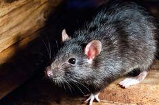 Cara Ampuh Usir Tikus dari Plafon Rumah