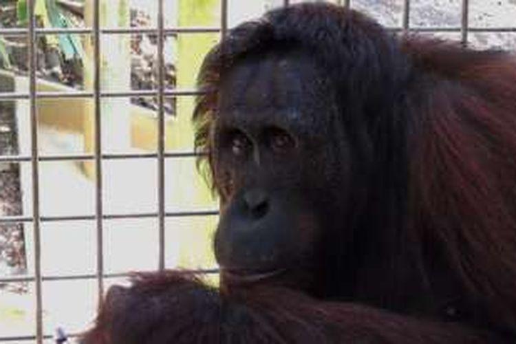 Enam orangutan dilepasliarkan Yayasan Samboja Lestari di hutan, Selasa (13/12/2016).