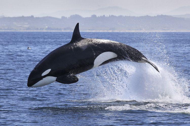 Ilustrasi paus pembunuh (Orca whale) berenang di lautan lepas.