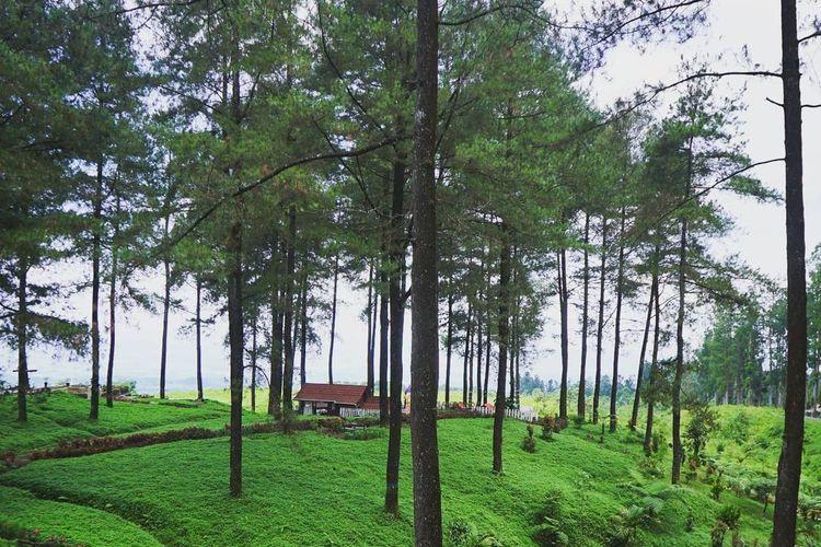Tempat wisata bernama Hutan Pinus Limpakuwus di Kabupaten Banyumas, Jawa Tengah (dok. Instagram @hutanpinuslimpakuwuss).