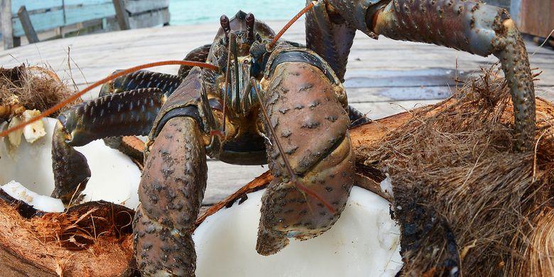 Ilustrasi ketam kenari alias coconut crab (Birgus latro), krustasea terbesar di dunia yang berkomunikasi saat kawin.