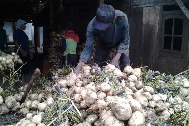 Petani Bengkoang saat panen hasil kebunnya. KOMPAS.Com /Slamet Priyatin
