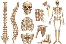 Jenis-jenis Tulang Badan Manusia