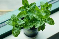 Cara Membuat Tanaman Mint Tumbuh Rimbun dengan Stek Air