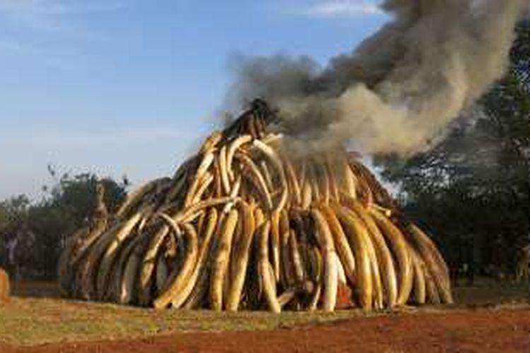 Pembakaran 15 ton gading gajah di Kenya.