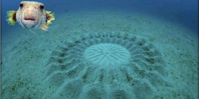 Ikan buntal membuat struktur serupa crop circle untuk memikat betina. Struktur yang pembuatannya rumit dan menyita energi itu digunakan sebagai tempat meletakkan telur.