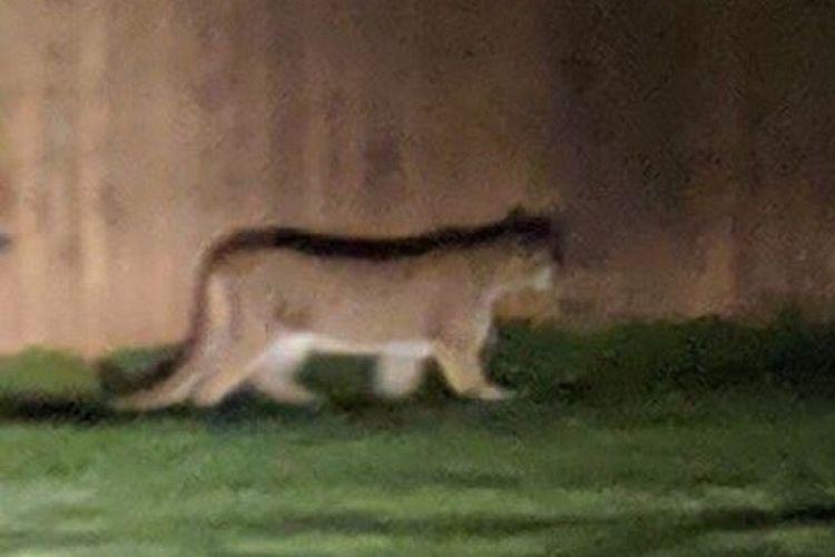 Seekor puma terlihat berkeliaran di Enchantment Park, Leavenworth, Washington, AS,  Sabtu (1/6/2019) malam. (Departemen Perikanan dan Satwa Liar Washington)