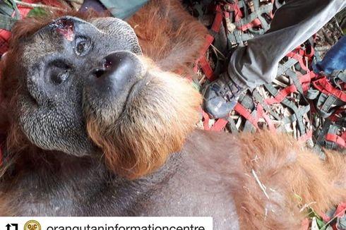 Viral, Foto Orangutan Tapanuli Terluka Saat Nyasar di Ladang Buah Warga