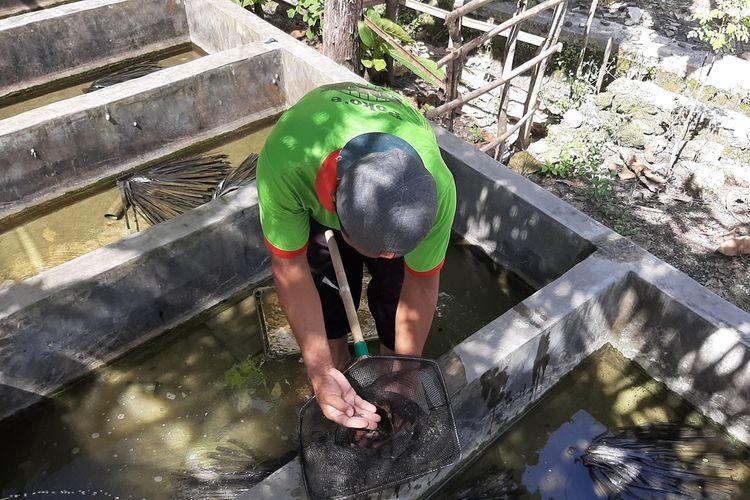 Darminto Salah seorang Anggota Pembudidaya Lobster Air Tawar Menunjukkan Lobster air Tawar di Pulutan, Wonosari, Gunungkidul Rabu (24/3/2021)