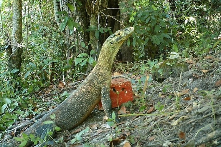 Komodo Pota