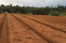 Rawat Cabai di Ciangir, DKI Gandeng Ahli Proteksi Tanaman dari IPB