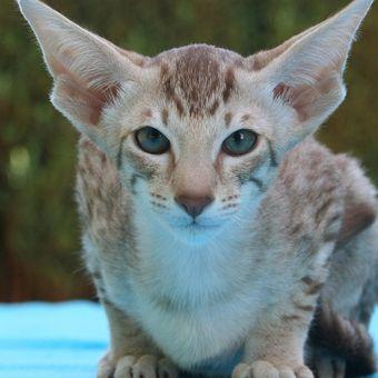 Ilustrasi kucing jenis Oriental Shorthair.