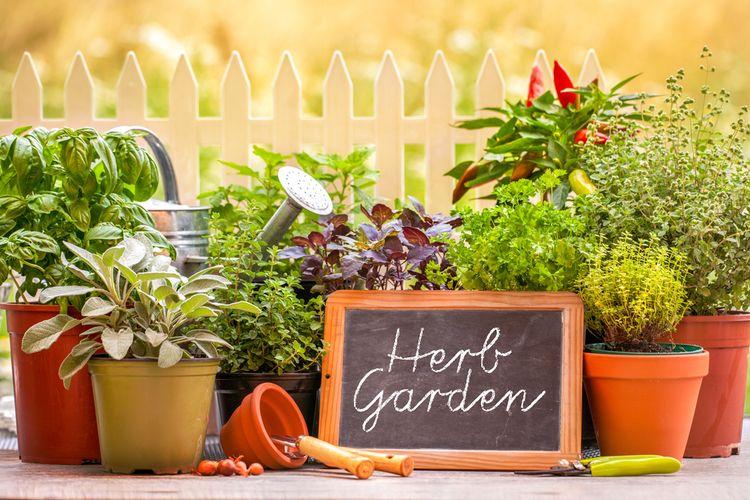 Ilustrasi menanam tanaman herbal di rumah.