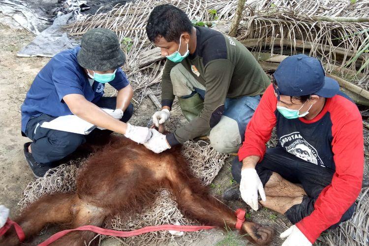 Tim dari BKSDA SWK II Pangkalan Bun dan OFI memeriksa orangutan yang telah dibius dalam operasi penyelamatan pada Minggu (9/8/2020). Orangutan berusia sekitar 10 tahun ini diduga tersesat di kebun warga saat mencari makan.
