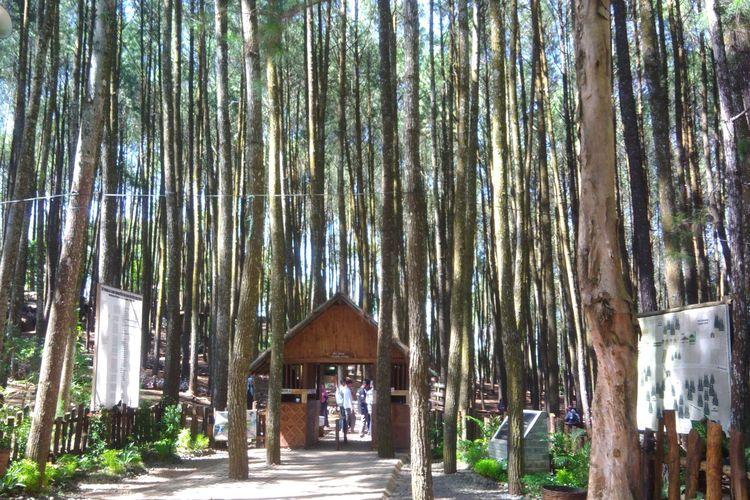Hutan Pinus Mangunan di Bantul, DI Yogyakarta.