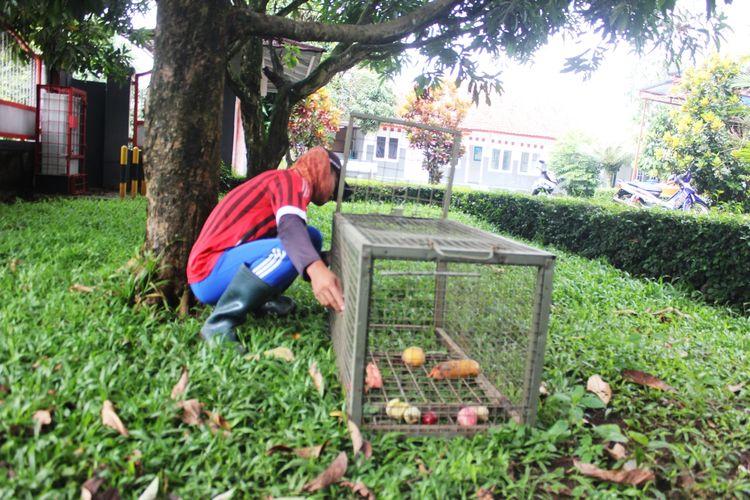 Seorang warga tengah memasukkan buah-buahan ke dalam perangkap yang digunakan untuk menangkap tiga ekor surili yang berkeliaran di pemukiman penduduk di Desa Sukaraharja, Kecamatan Cibeber, Kabupaten Cianjur, Jawa Barat.