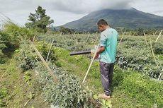 4.208 Hektare Ladang Padi dan Jagung Rusak Terdampak Erupsi Gunung Sinabung