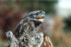 Frogmouth Jadi Burung Paling Instagrammable Menurut Sains, Apa Alasannya?