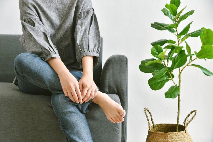 Ilustrasi tanaman hias fiddle leaf fig atau ara biola di dalam rumah.