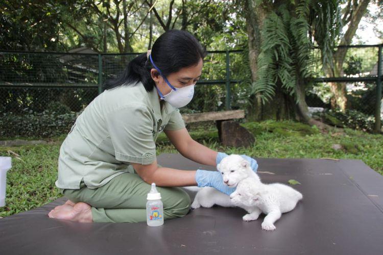 Satwa Taman Safari Bogor tengah diberikan perawatan oleh petugas taman.