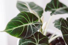 Tips Membuat Tanaman Alocasia Tumbuh Besar dengan Cepat