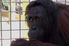 6 Orangutan Dilepasliarkan di Hutan di Kutai Timur