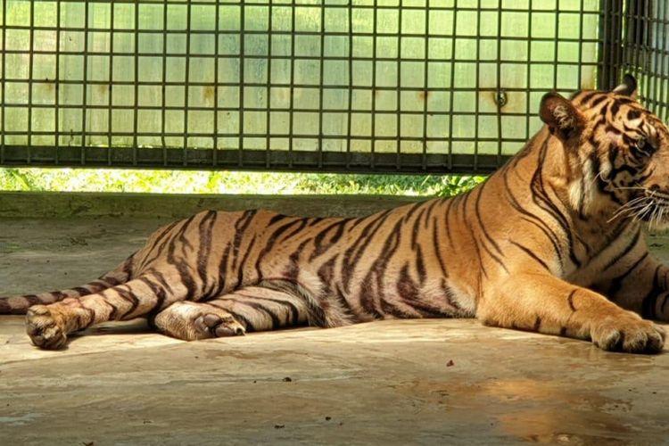 Harimau sumatera Atan Bintang berada di kandang rehabilitasi harimau sumatera di Dharmasraya, Sumatera Barat