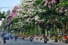 Tidak Hanya di Surabaya, Bunga Tabebuya Juga Bermekaran di Magelang