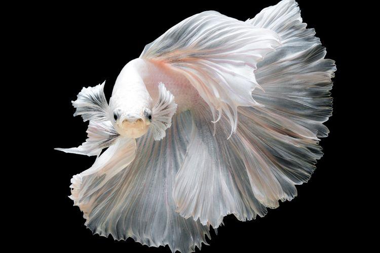 Ilustrasi ikan cupang berwarna putih.