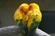 Mengenal 9 Spesies Burung Lovebird