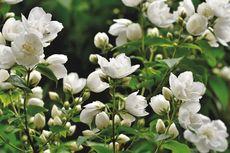 Rahasia Perawatan Bunga Melati agar Berbunga Lebat