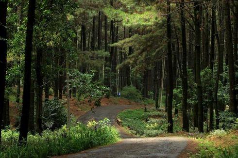 5 Wisata Hutan Pinus di Indonesia