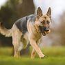 10 Keistimewaan German Shepherd Sebagai Anjing Keluarga