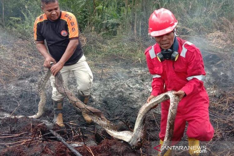 Petugas BPBD Pekanbaru mengangkat bangkai ular piton sepanjang empat meter yang mati terpanggang akibat kebakaran lahan gambut di Kecamatan Payung Sekaki, Kota Pekanbaru, Riau, Senin (2/3/2020). ANTARA/HO-Babinkamtibmas Bandaraya Pekanbaru