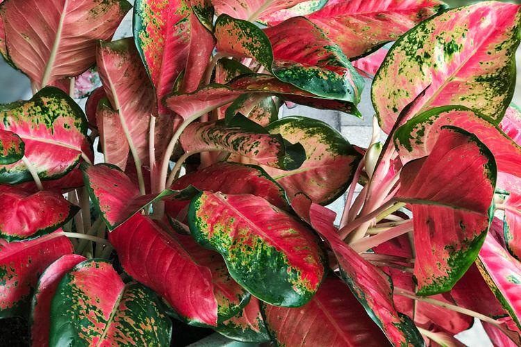 Ilustrasi tanaman hias Aglonema Modestum.