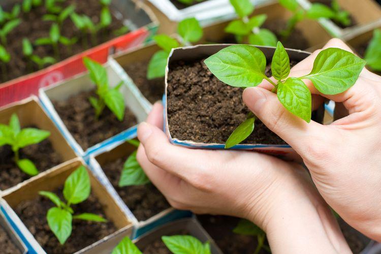 Ilustrasi cardboard gardening atau berkebun dengan kardus.