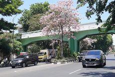 Tabebuya Kembali Berbunga, Meski Cuaca Panas, Surabaya Tampak Indah