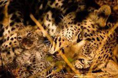 Saat Mencari Palu, Rasman Tak Sadar Membelakangi Macan Tutul