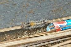 Teror Ulat Bulu di Perumahan Hakiki Ciputat, Beberapa Warga Terserang Gatal-gatal
