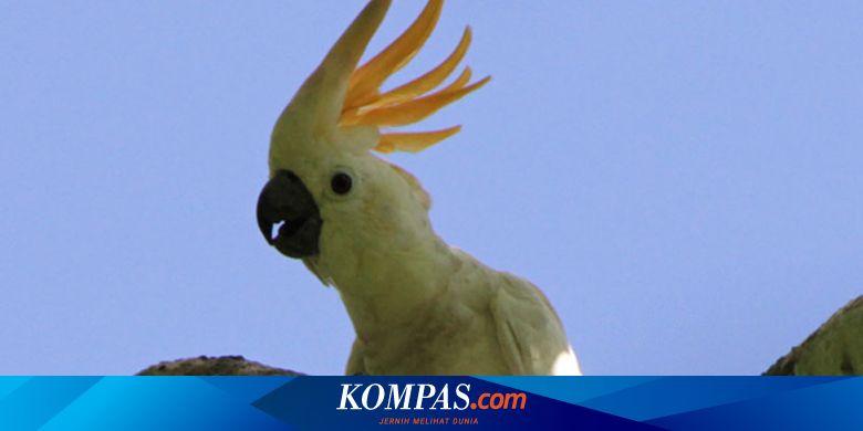 Profauna Ajak Masyarakat Berhenti Beli Burung Nuri Dan Kakatua Halaman All Kompas Com