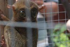 Tarsius, Primata Mungil yang Tahan Banting