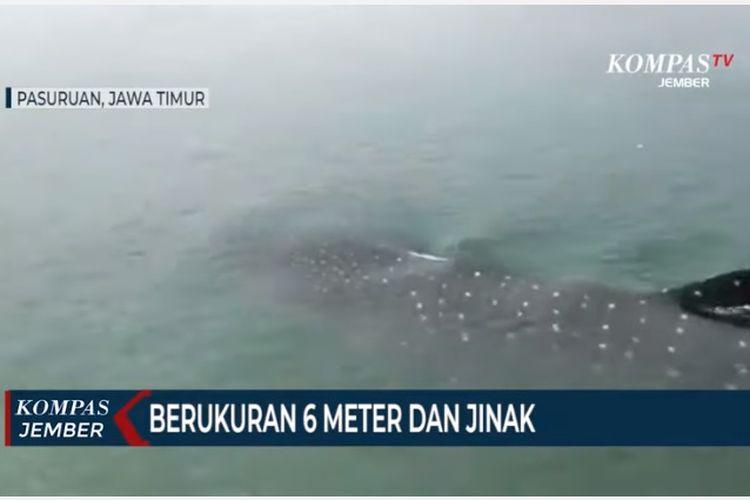 Puluhan ekor hiu tutul muncul di permukaan perairan laut utara Pasuruan, Jawa Timur.