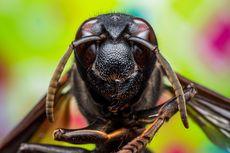 Mengenal Tawon Vespa affinis dan Bahaya Sengatannya...